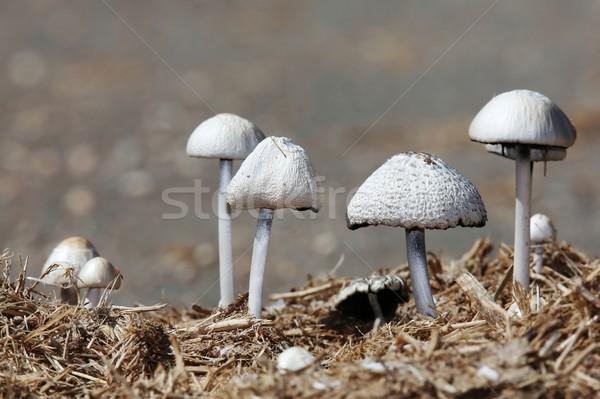 Wild Mushrooms Stock photo © fouroaks