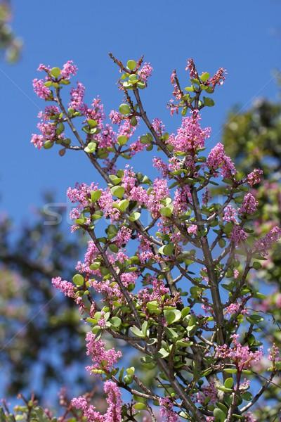 цвести довольно розовато-лиловый цветы Буш кустарник Сток-фото © fouroaks