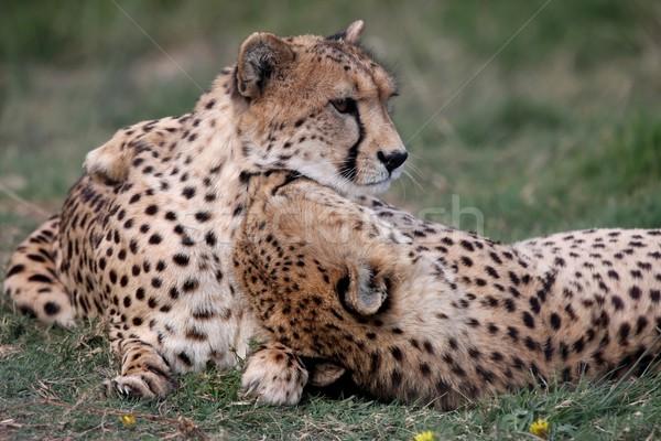 Guépard paire deux accueillant sauvage chats Photo stock © fouroaks