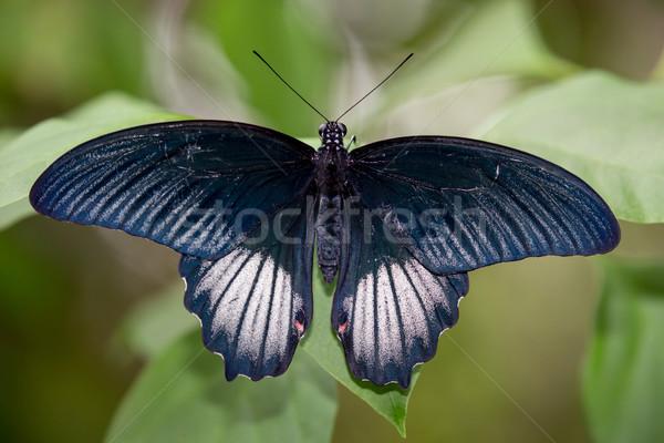 Scarlet Mormon Butterrfly  Stock photo © fouroaks