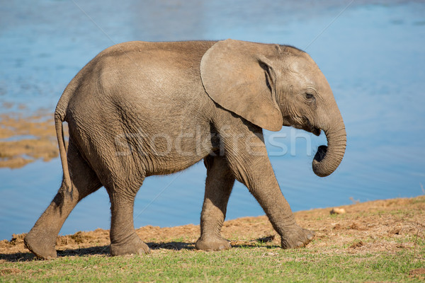 Young African Elephant Stock photo © fouroaks