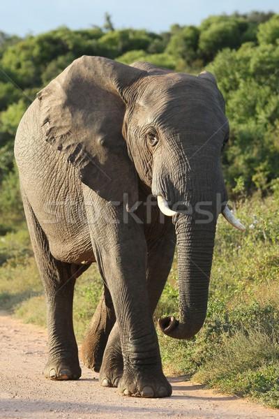 Afrika fil yürüyüş büyük büyük kulaklar içmek Stok fotoğraf © fouroaks