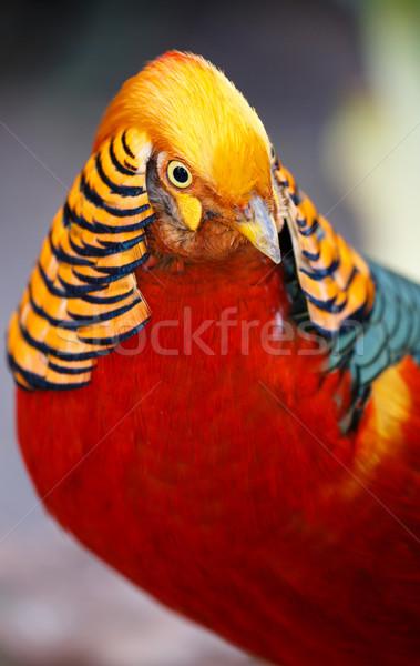 Beautiful Male Golden Pheasant Bird Stock photo © fouroaks