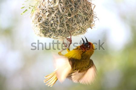Cape Weaver Bird and Nest Stock photo © fouroaks