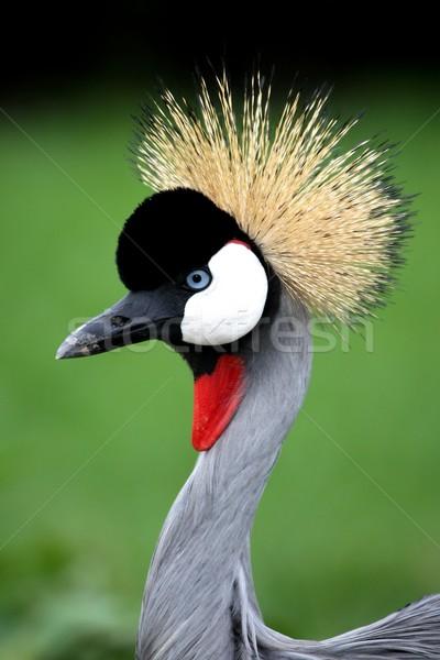 クレーン 鳥 美しい 青 眼 赤 ストックフォト © fouroaks
