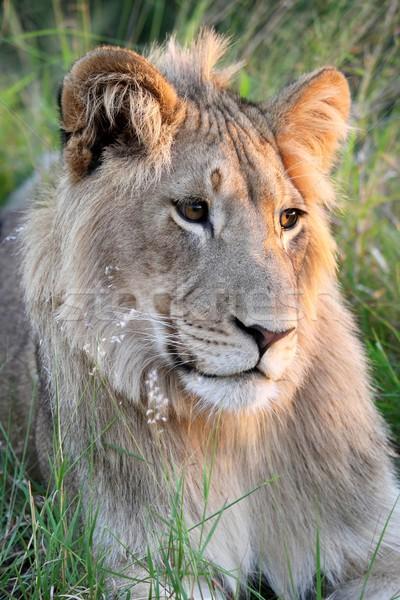 Jonge wild leeuw mooie bruine ogen gezonde Stockfoto © fouroaks