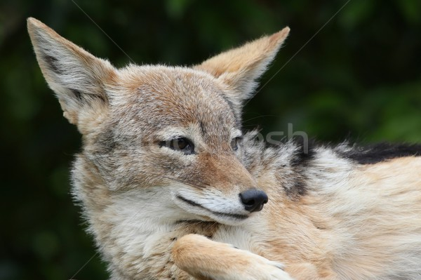 Jackal Portrait Stock photo © fouroaks