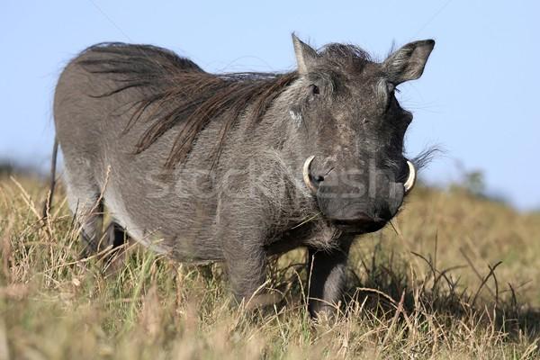 Warthog Animal Stock photo © fouroaks