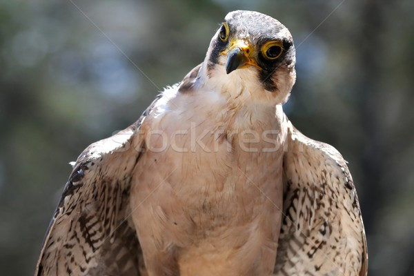 Lanner Falcon Raptor Bird Stock photo © fouroaks