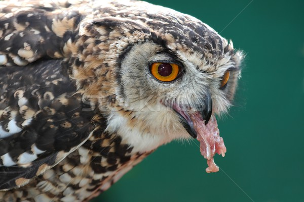 Eagle owl manger morts poulet nature oiseau Photo stock © fouroaks