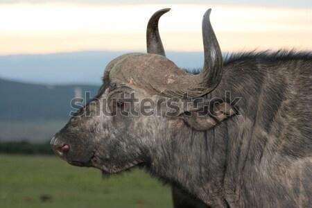 Black Wildebeest Antelope Stock photo © fouroaks