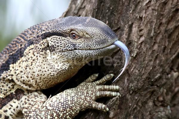 Leguaan or Water Monitor Reptile Stock photo © fouroaks