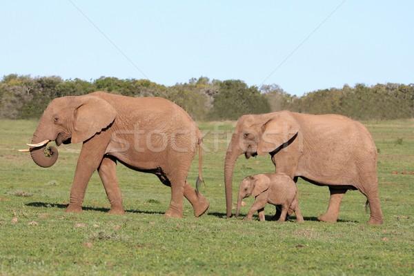 象 家族 徒歩 オープン アフリカ 草 ストックフォト © fouroaks