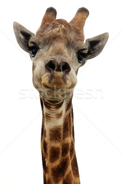 жираф изолированный портрет белый глаза рот Сток-фото © fouroaks