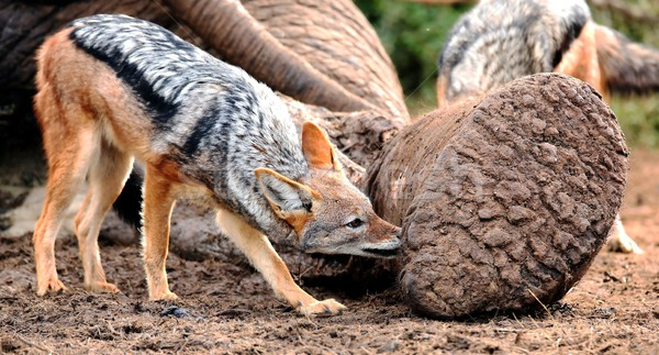 Black Backed Jackal at Elephant Carcass Stock photo © fouroaks