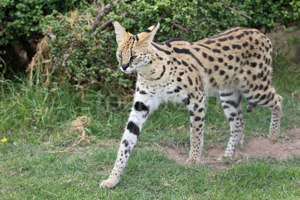 Serval Wild Cat Stock photo © fouroaks