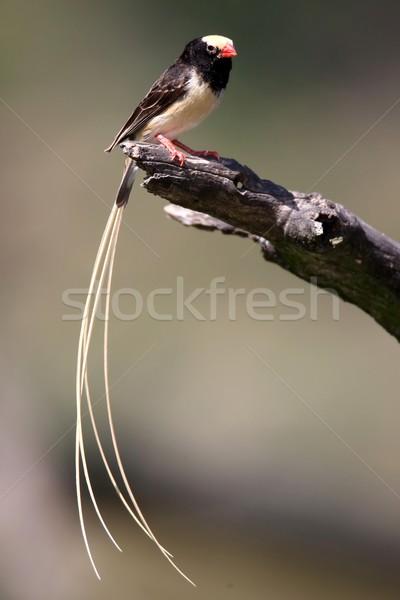 鳥 かなり 男性 自然 黒 動物 ストックフォト © fouroaks