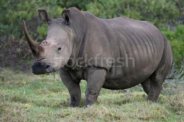 White Rhino Portrait Stock photo © fouroaks