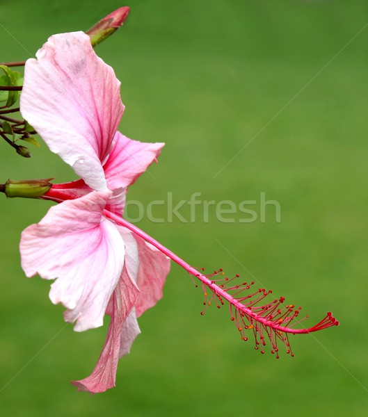 Pink Hibiscus Bloom Stock photo © fouroaks
