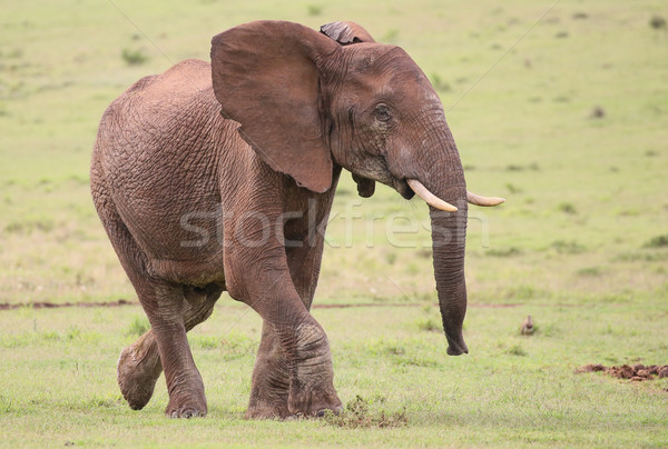 Сток-фото: Африканский · слон · мужчины · большой · трава · ходьбе · кожи