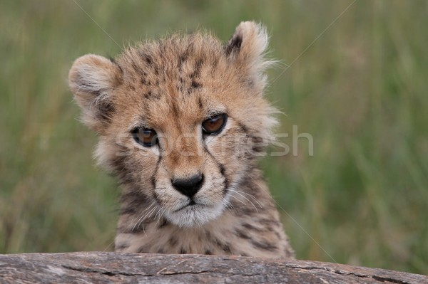 Cheetah welp cute boom baby hout Stockfoto © fouroaks