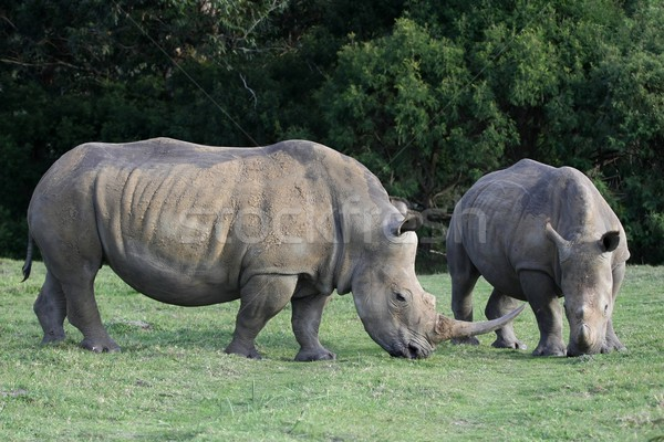White Rhino Pair Stock photo © fouroaks
