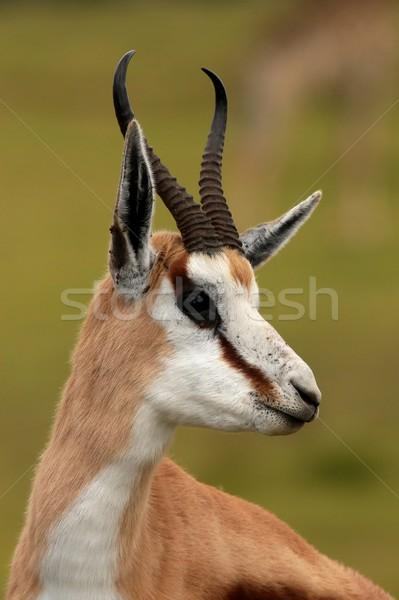 Springbuck Antelope Portrait Stock photo © fouroaks