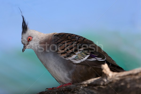 Crowned Pigeon Bird Stock photo © fouroaks