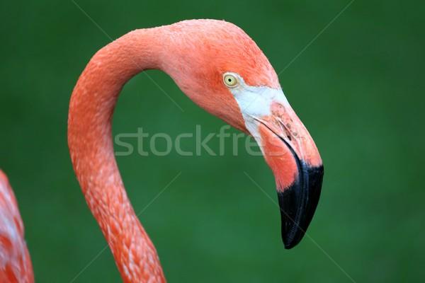 Roze flamingo bevallig groot snavel schoonheid Stockfoto © fouroaks