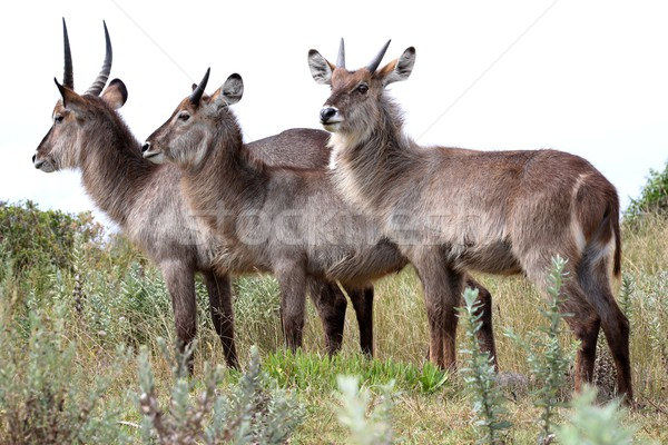 Waterbuck Antelope Trio Stock photo © fouroaks