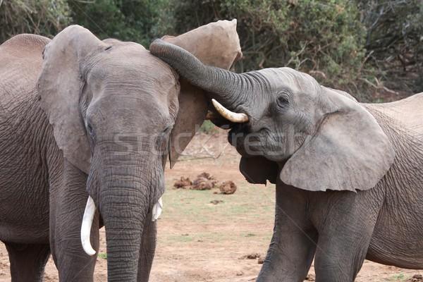 Afrikai elefánt kölcsönhatás kettő nagy férfi természet Stock fotó © fouroaks