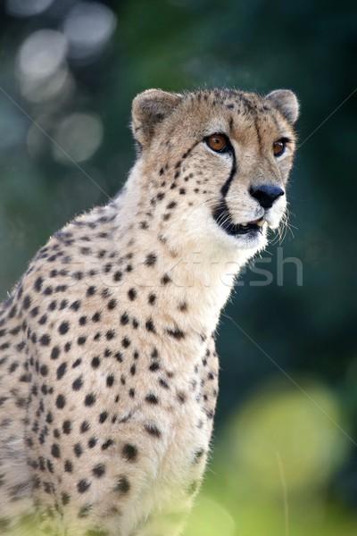 çita portre güzel kedi Afrika Stok fotoğraf © fouroaks