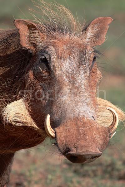Portré férfi hosszú vicces arcszőrzet haj Stock fotó © fouroaks