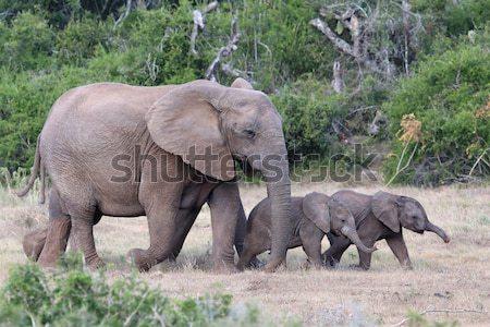 Stok fotoğraf: Bebek · Afrika · filler · anneler · iki