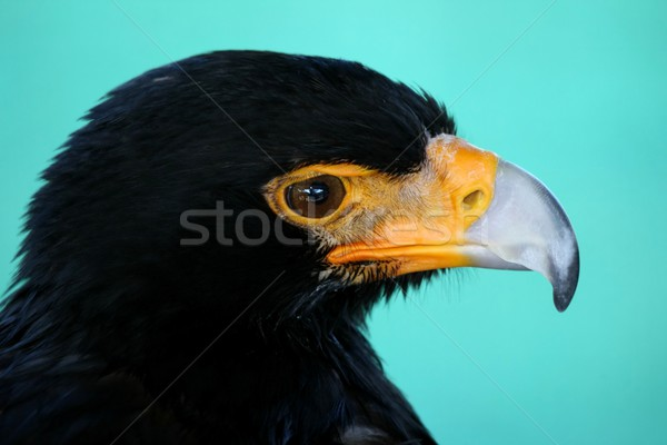 Black Eagle Bird Stock photo © fouroaks