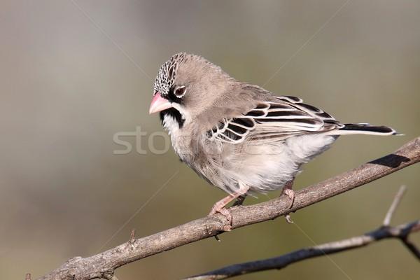 Scaly-feathered weaver bird Stock photo © fouroaks