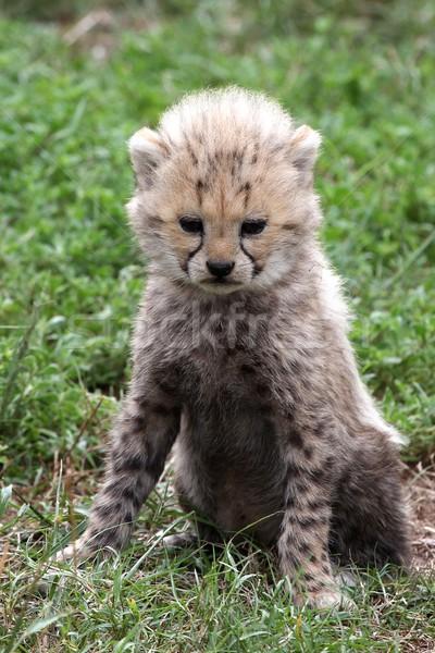 Cheetah Cub Stock photo © fouroaks
