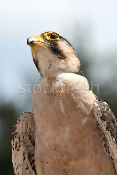 Lanner Falcon Bird of Prey Stock photo © fouroaks