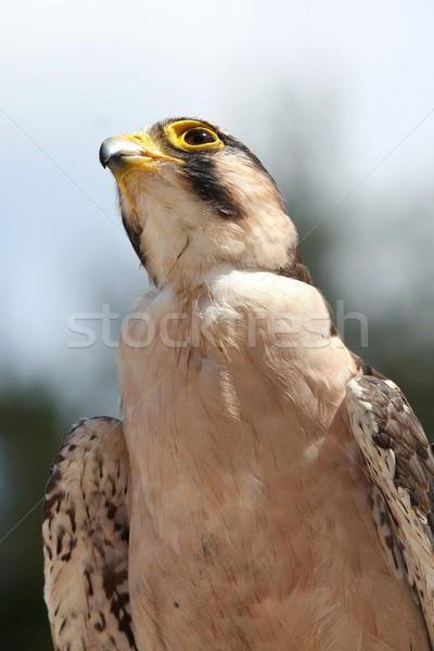 Sólyom madár zsákmány szándék néz szemek Stock fotó © fouroaks