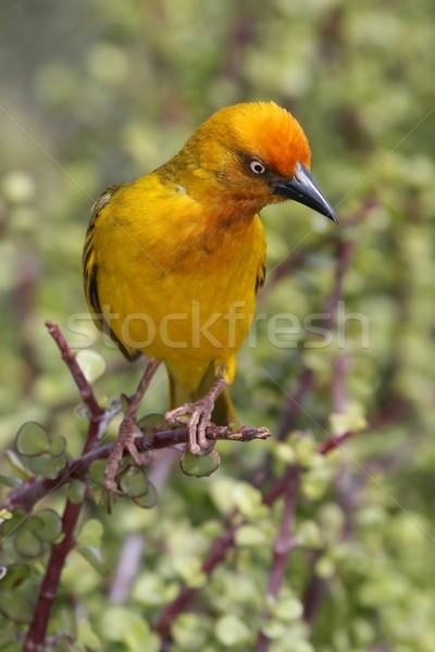 Cape Weaver Bird Stock photo © fouroaks