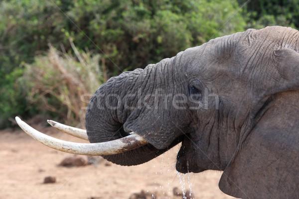 Elephant Drinking Water Stock photo © fouroaks