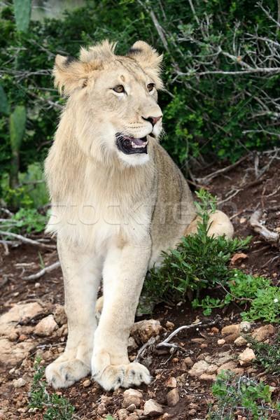 Lion Portrait Stock photo © fouroaks