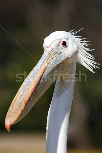 Pelican Bird Funny Face Stock photo © fouroaks
