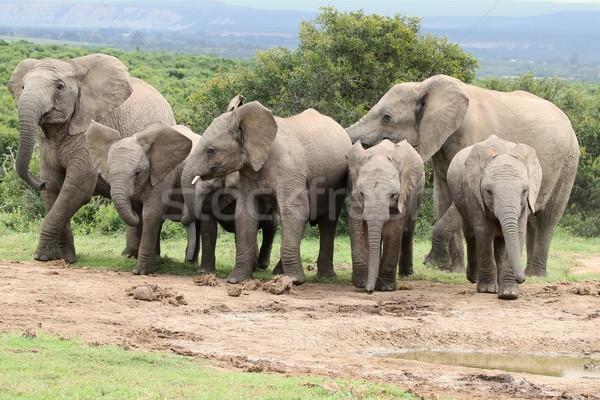 African Elephants at Waterhole Stock photo © fouroaks