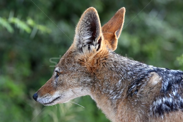Black Backed Jackal Stock photo © fouroaks
