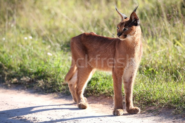 African Lynx or Caracal  Stock photo © fouroaks