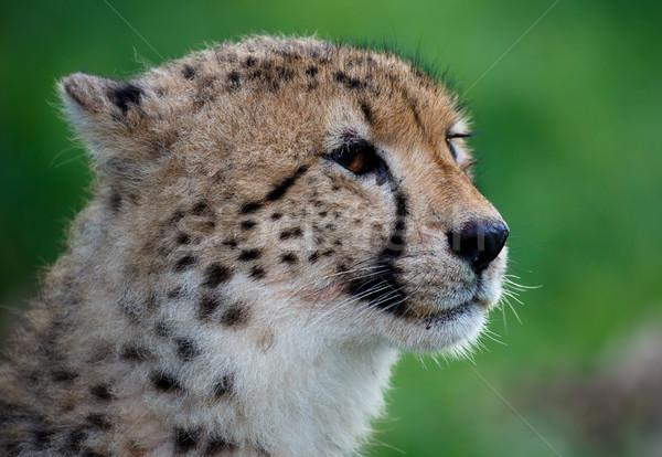 Gepárd portré zöld vad macska puha Stock fotó © fouroaks