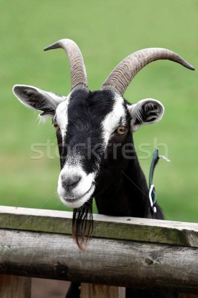 Billy Goat Portrait Stock photo © fouroaks