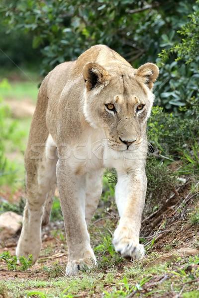Lioness on Prowl Stock photo © fouroaks