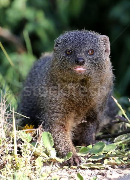 Grey Mongoose Stock photo © fouroaks